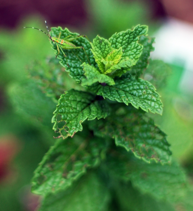 insectonmintplant